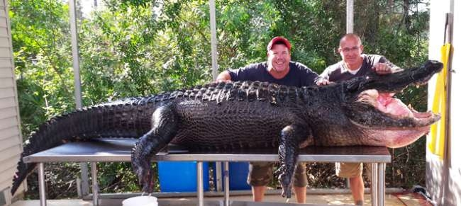Two Guys Catch 13 Foot, 800 Pound Gator With Bare Hands [VIDEO]