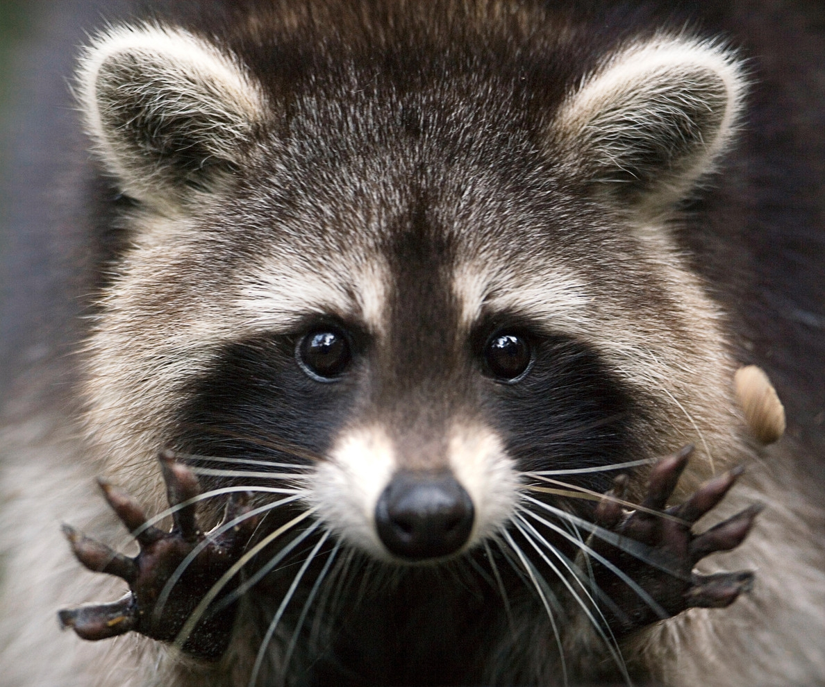 5@5: Carpenter Fired for Saving Racoon's Life